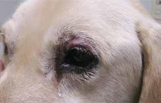 犬の毛包虫症2