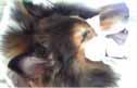 犬の肛門周囲腺腫1