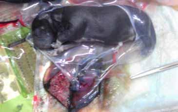犬の妊娠子宮6