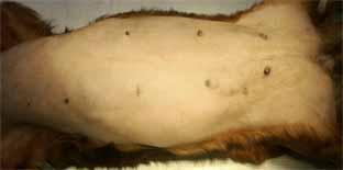 犬の片側乳腺全摘出術1