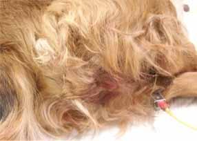 犬の子宮頚の腫瘍2