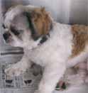 犬の臍ヘルニアの手術1