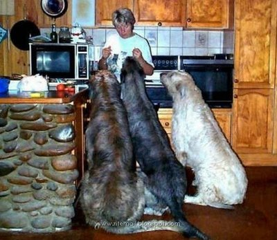 Biggest_dogs_008.jpg