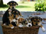 jack-russel-terrier-mix-puppies.jpg