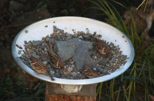 スズメが4羽124