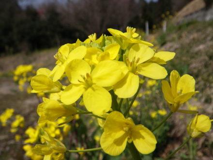 菜の花320