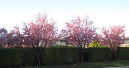 137_cherry trees2