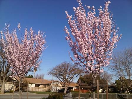 137_cherry trees