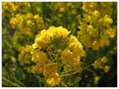 菜の花ウォッチング3
