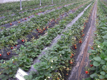 イチゴ栽培2