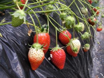 イチゴ栽培1