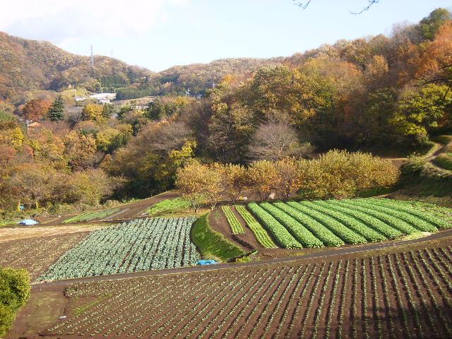 野菜畑と黄葉147