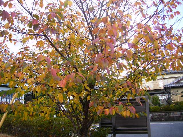 桜の黄葉155