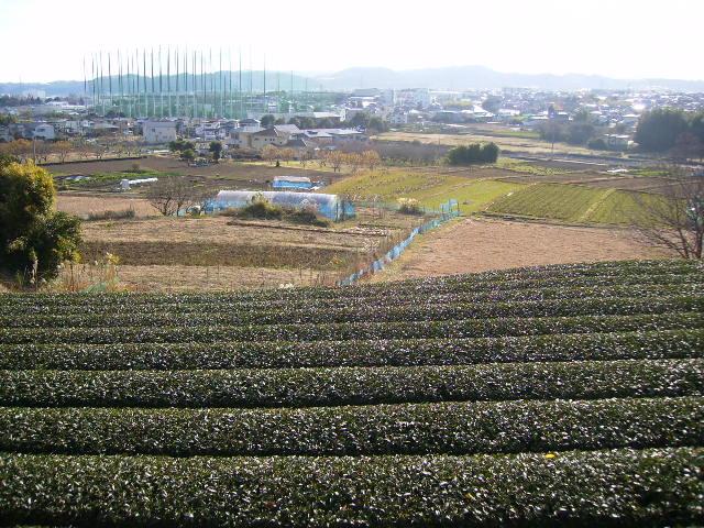 初冬の茶畑20