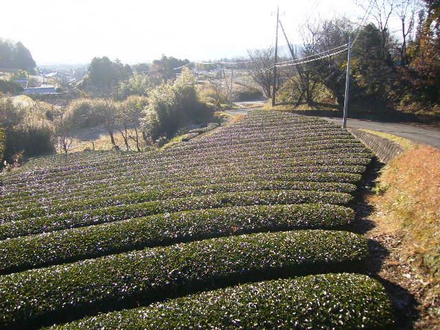 初冬の茶畑33