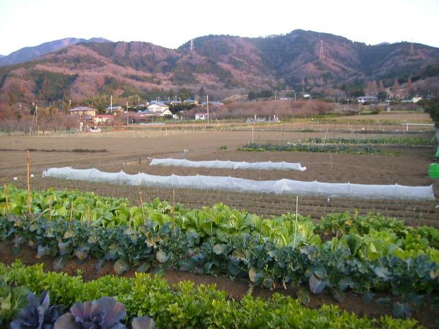 冬野菜畑13