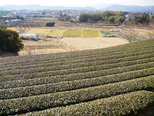 冬の茶畑06