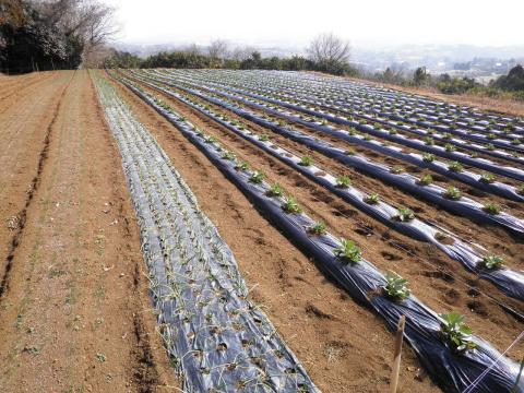 冬野菜畑101
