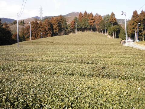 冬の茶畑49