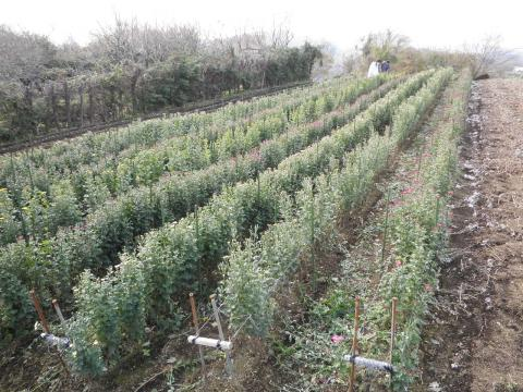 菊の収穫24