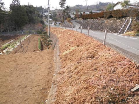 冬の芝桜51