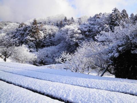 雪の茶畑104