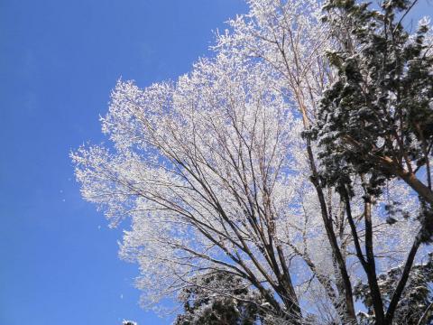 雪のけやき84