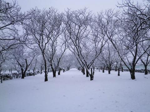 春雪の栗畑74