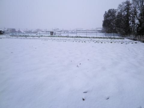 春雪の畑70