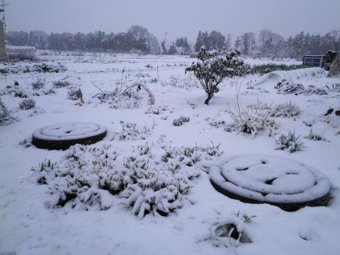春雪の畑68