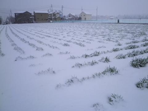 春雪のむぎ畑76