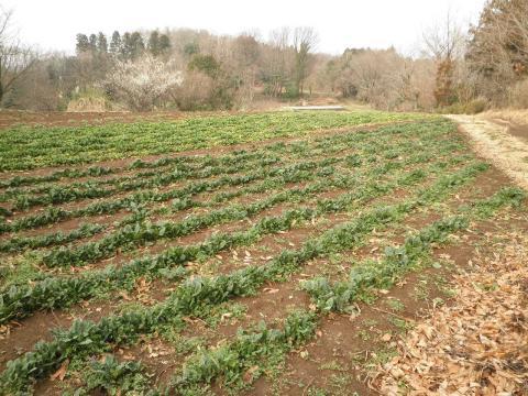 ほうれんそう畑と白梅32