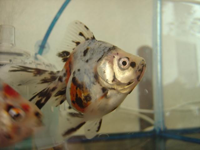金魚まつり キャリコ1