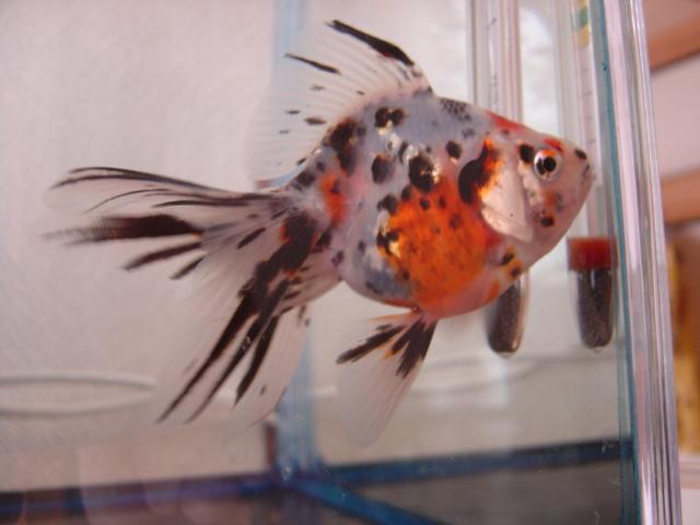 金魚まつり キャリコ4