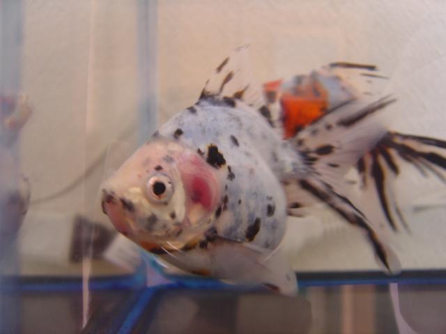 金魚まつり キャリコ2