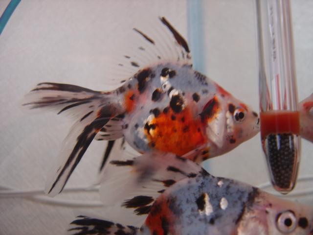 金魚まつり キャリコ5