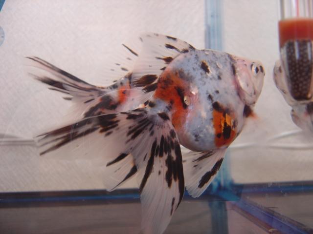 金魚まつり キャリコ3