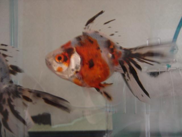 金魚まつり キャリコ6