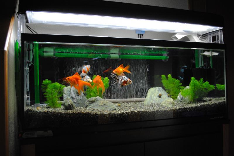 9/12 90cm金魚水槽1