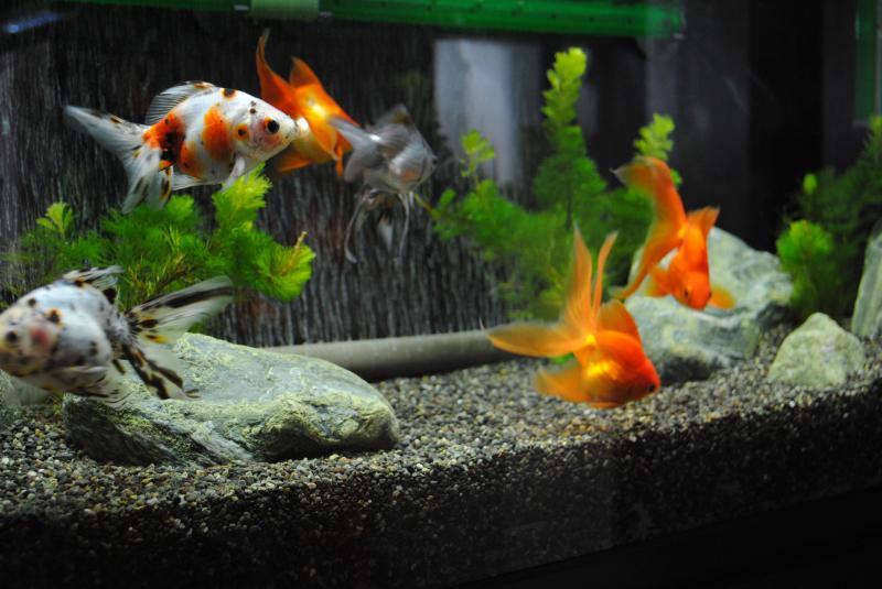 10/16 90cm金魚水槽3