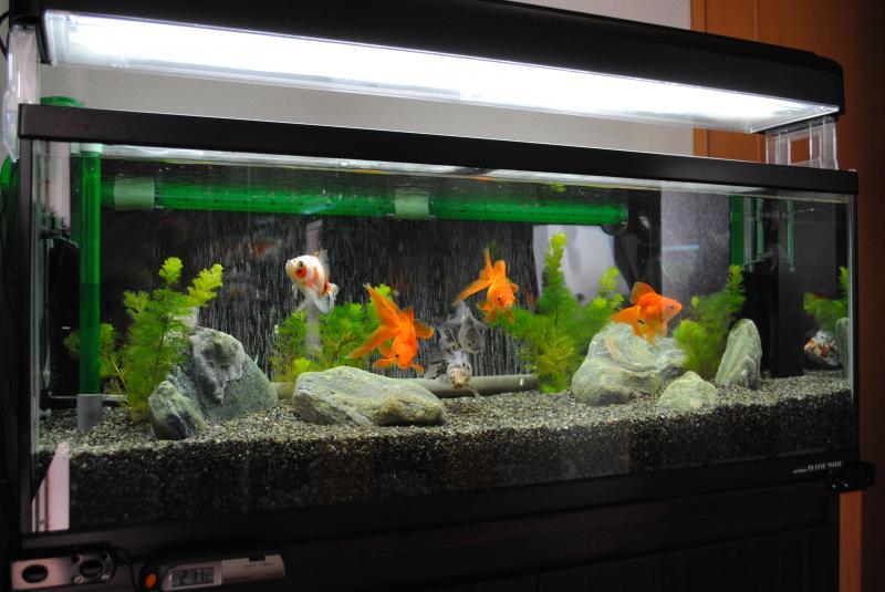 10/16 90cm金魚水槽1
