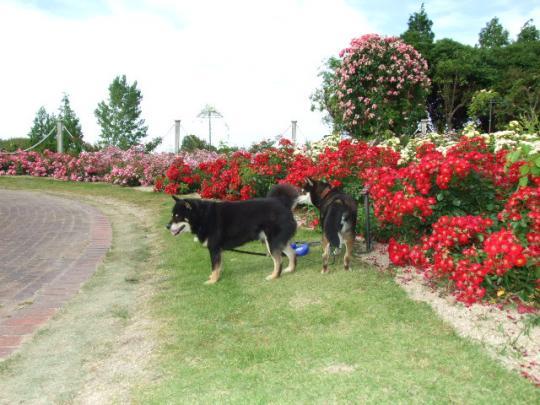 蜻蛉池公園の薔薇園