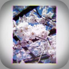 sakura2_20110410204554.jpg