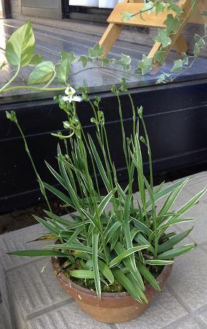 サギ草、咲きました^^