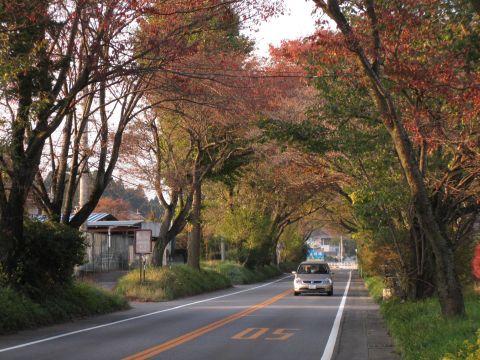 徳次郎の桜並木
