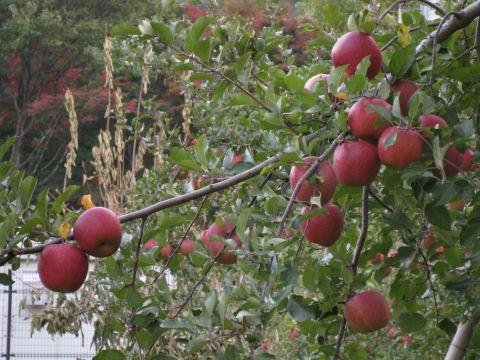 石那田のリンゴ園にて