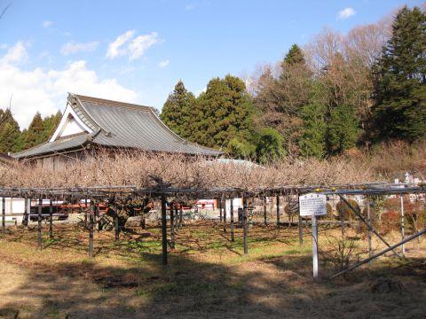 竜蔵寺と六尺藤