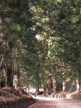 瀬川の杉並木