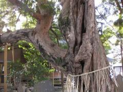 金蓮院のラカンマキ