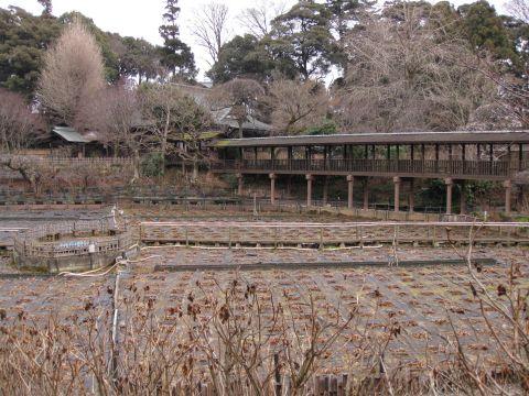 本土寺の菖蒲池